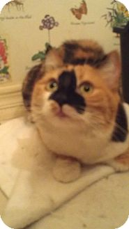 Calico Cat for Sale in Fountain Hills, Arizona - ALEXIS