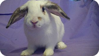 Lop-Eared Mix for Sale in Garland, Texas - Sawyer