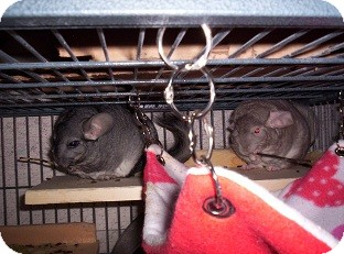 Chinchilla for adoption in Avondale, Louisiana - Thelma & Louise