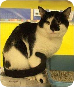 Domestic Shorthair Cat for adoption in crofton, Maryland - Amos