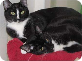 Domestic Mediumhair Cat for adoption in Roseville, Minnesota - Cody and Cam