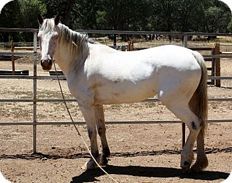 Appaloosa Mix for adoption in El Dorado Hills, California - Hopi