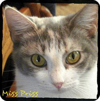Calico Cat for adoption in Anywhere, Connecticut - Miss Priss