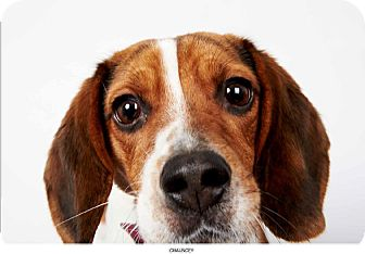 Beagle Dog for Sale in New York, New York - Chauncey