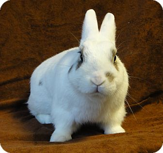 Dwarf Hotot Mix for adoption in Los Angeles, California - Dr. Pepper