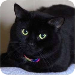 Domestic Shorthair Cat for adoption in St. Clements, Ontario - Darius