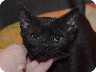 Bombay Kitten for Sale in Brooklyn, New York - Ming