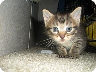 Domestic Shorthair Kitten for adoption in Elizabeth City, North Carolina - Squirt