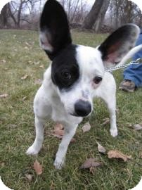 Chihuahua/Terrier (Unknown Type, Small) Mix Dog for Sale in Bellingham, Washington - Dominoe