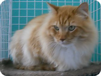 Domestic Longhair Cat for Sale in Colorado Springs, Colorado - Malone