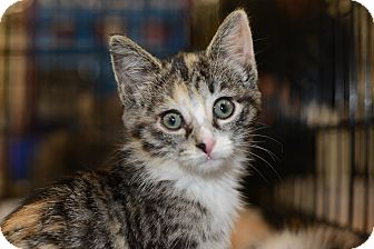 Calico Kitten for Sale in Harrisburg, North Carolina - Raven
