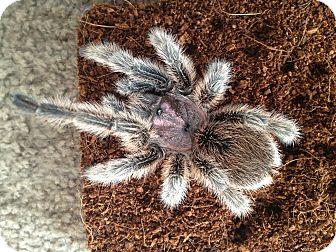 Tarantula for adoption in Columbus, Ohio - The Fuzz