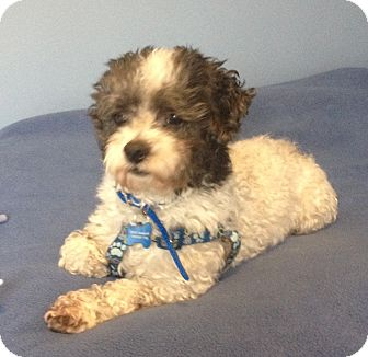Poodle (Miniature)/Lhasa Apso Mix Dog for Sale in Mt. Prospect, Illinois - Isaac