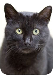 Domestic Shorthair Cat for adoption in Chicago, Illinois - Raven
