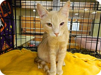 Domestic Shorthair Cat for adoption in The Colony, Texas - Mango