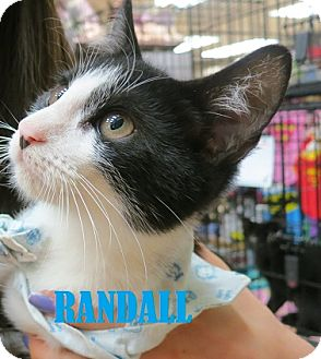 Domestic Shorthair Kitten for adoption in New York, New York - Randall