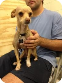 Chihuahua Mix Dog for adption in Tucson, Arizona - Ryan