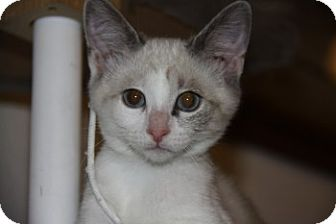 Siamese Kitten for Sale in Vacaville, California - Blitz