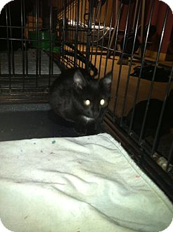 Domestic Shorthair Kitten for Sale in Clay, New York - JUSTIN,JASON.JASPER