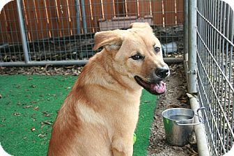 Shepherd (Unknown Type)/Chow Chow Mix Dog for adption in san antonio, Texas - Penny