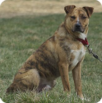Boxer/Shepherd (Unknown Type) Mix Dog for Sale in New cumberland, West Virginia - Mufasa