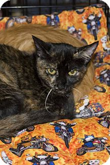 Domestic Shorthair Cat for adoption in Elfers, Florida - Tortie