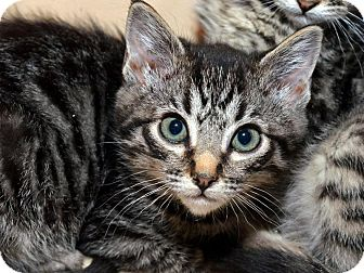 American Shorthair Kitten for Sale in Brooklyn, New York - Vanya