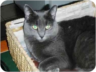 Russian Blue Cat for adoption in Pasadena, California - Babette