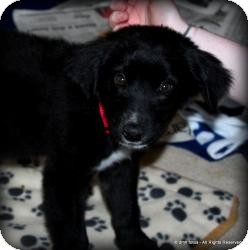 Australian Shepherd/Labrador Retriever Mix Puppy for Sale in Marlton, New Jersey - Baby Allie