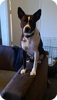 Australian Cattle Dog/Pit Bull Terrier Mix Dog for Sale in Scottsdale, Arizona - Molly- courtesy post