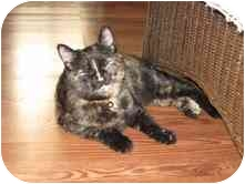 Domestic Shorthair Cat for adoption in Easley, South Carolina - Spice Girl