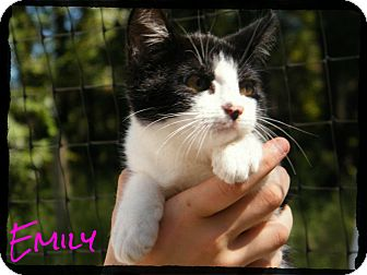 Domestic Shorthair Kitten for Sale in cumberland, Rhode Island - Emily