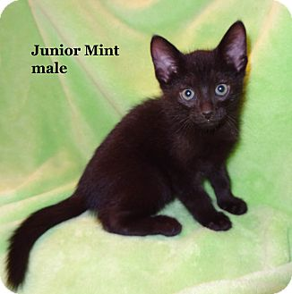 Domestic Shorthair Kitten for Sale in Bentonville, Arkansas - Junior Mint