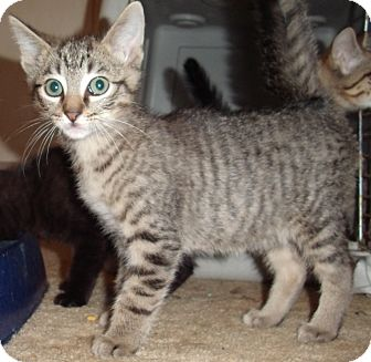 Domestic Shorthair Kitten for Sale in Porter, Texas - Nutmeg