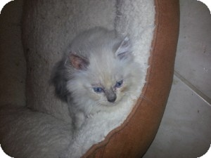 Ragdoll Kitten for Sale in Ennis, Texas - Haven