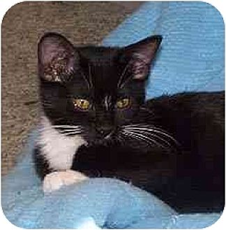 Domestic Shorthair Cat for adoption in Clovis, New Mexico - Gizmo