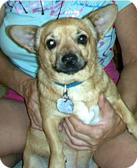 Chihuahua Mix Dog for adption in Chandler, Arizona - Pancho