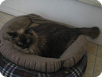 Himalayan Cat for adoption in Brea, California - Lucy