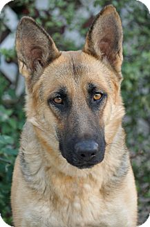 German Shepherd Dog Dog for Sale in Los Angeles, California - Ivory von Insel
