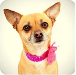 Chihuahua/Terrier (Unknown Type, Small) Mix Dog for Sale in Sacramento, California - Bear