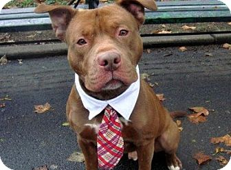 American Pit Bull Terrier Mix Dog for adption in Flushing, New York - Colorado