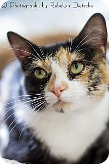 Domestic Shorthair Kitten for adoption in Grand Rapids, Michigan - Harper