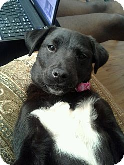 Labrador Retriever/Border Collie Mix Puppy for Sale in Gainesville, Florida - Sleeping Beauty