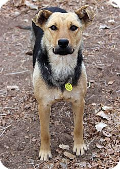 German Shepherd Dog Mix Dog for Sale in Westminster, Colorado - Eliza