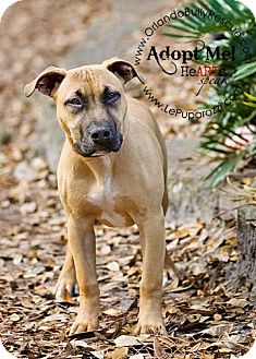 American Pit Bull Terrier/Hound (Unknown Type) Mix Puppy for adption in Orlando, Florida - Rosie
