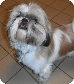 Shih Tzu Dog for Sale in Jackson, Michigan - Griffin