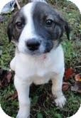 Border Collie/Beagle Mix Puppy for Sale in Harrisonburg, Virginia - Johnny Domino