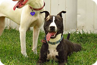 American Pit Bull Terrier Mix Dog for adption in Barrington, Rhode Island - Marvin