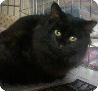 Domestic Mediumhair Cat for Sale in Salem, New Hampshire - Whisper