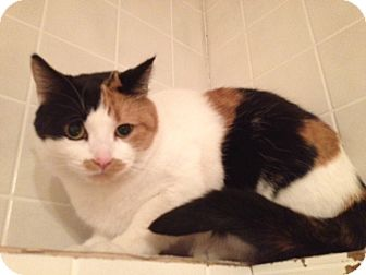 Calico Cat for adoption in Grand Rapids, Michigan - Gus